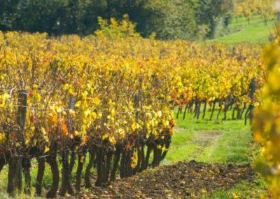 Les vignes 2 taille site internet